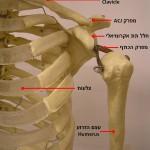מבנה אנטומי של מפרק הכתף