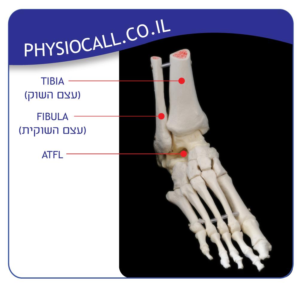 אנטומיה של מפרק הקרסול